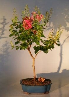 Flowering Crape Myrtle Tonto Bonsai Tree For Sale - Large (lagerstroemia indica)