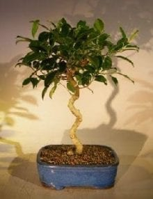Ficus Benjamina Bonsai Tree For Sale Art Shaped Curved Trunk (exotica)