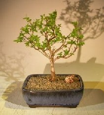 Flowering Top Hat Blueberry Bonsai Tree For Sale (vaccinium corymbosum argustifolium)
