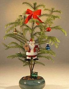 Norfolk Island Pine Bonsai Tree For Sale - With Decorations (araucaria heterophila) (Available During November & December Only)