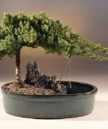 Juniper Bonsai Tree For Sale in a Water Bonsai Pot - Large (juniper procumbens nana)