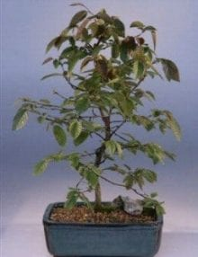 Rock Hornbeam Bonsai Tree For Sale (carpinus turczaninovii)