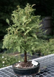 Redwood Bonsai Tree For Sale Metasequoia Glyptostroboides Bonsai Tree Gardener
