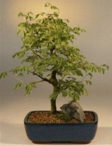 Flowering Brazilian Raintree Bonsai Tree For Sale Large (pithecellobium tortum)