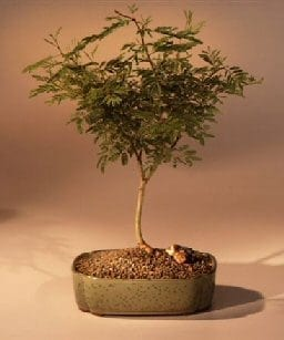 Flowering Sweet Acacia Bonsai Tree For Sale (acacia farnesiana)