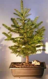 Colorado Blue Spruce Bonsai Tree For Sale Extra Large (picea pungens)