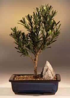 Flowering Podocarpus Bonsai Tree For Sale - Dwarf Pringles Upright Style - Large (podocarpus macrophyllus)