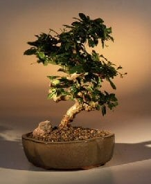 Flowering Fukien Tea Bonsai Tree For Sale - Medium Curved Trunk Style (ehretia microphylla)