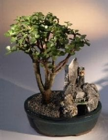 Baby Jade Bonsai Tree For Sale Stone Landscape Scene (portulacaria afra)