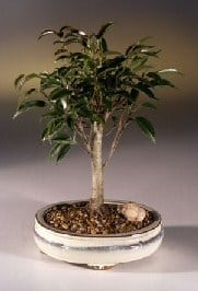 Ficus Midnight Bonsai Tree For Sale- Medium (benjamina 'midnight')