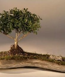 Japanese Kingsville Boxwood Bonsai Tree For Sale Planted on a Rock Slab