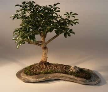 Hawaiian Umbrella Bonsai Tree For Sale on a Rock Slab (arboricola schefflera 'luseanne')