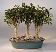 Oriental Ficus Bonsai Tree For Sale - 3 Tree Group (ficus benjamina 'orientalis')