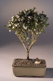 Flowering Mount Fuji Serissa Bonsai Tree For Sale - Medium (serissa foetida)