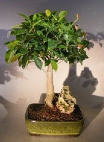 Ficus Root Over Rock Bonsai Tree For Sale (ficus retusa)