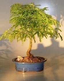 Flowering Tamarind Bonsai Tree For Sale - Large (tamarindus indica)