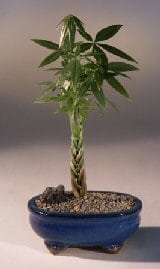 Braided Money Bonsai Tree For Sale - 'Good Luck Tree' (pachira aquatica)