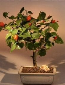 Flowering Dwarf Hibiscus Red Chinese Lantern Bonsai Tree For Sale - Medium (hibiscus grandidieri)