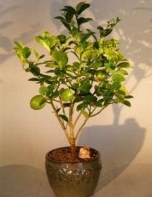 Key Lime Bonsai Tree For Sale (citrus aurantifolia)