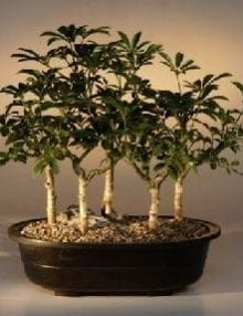 Hawaiian Umbrella Bonsai Tree For Sale Five Tree Forest Group (arboricola schefflera 'luseanne')