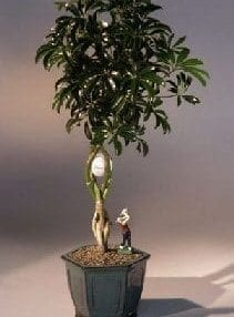 Golf Ball Hawaiian Umbrella Bonsai Tree For Sale With Miniature Golfer Figurine (arboricola schefflera)