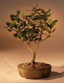 Flowering Tropical Dwarf Apple Bonsai Tree For Sale - Large (clusia rosea 'nana')