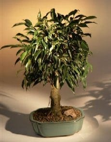 Oriental Ficus Bonsai Tree For Sale - Aged (ficus benjamina 'orientalis')