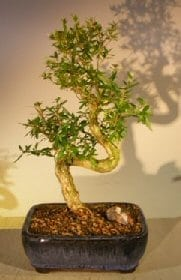 Chinese Flowering White Serissa - Large Bonsai Tree For Sale Of A Thousand Stars S Shaped Trunk (Serissa Japonica)