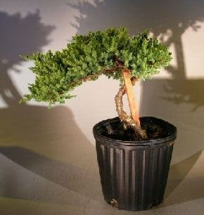 Pre Bonsai Juniper Bonsai Tree For Sale - Staked (Juniper Procumbens nana)