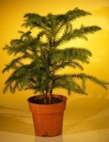 Pre Bonsai Norfolk Island Pine Bonsai Tree For Sale (Araucaria Heterophila)