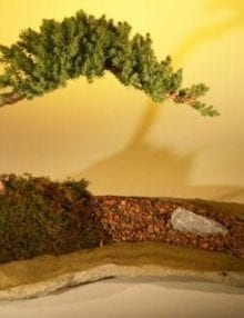 Juniper Bonsai Tree For Sale Planted on a Rock Slab (juniper procumbens nana)