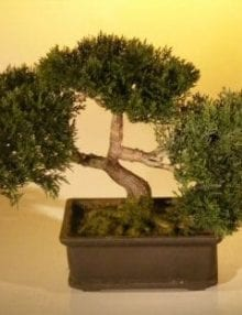 Artificial Japanese Cedar Bonsai Tree For Sale #1