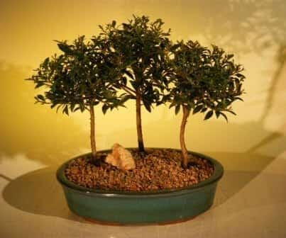 Flowering Brush Cherry Bonsai Tree For Sale Three (3) Tree Forest Group (eugenia myrtifolia)
