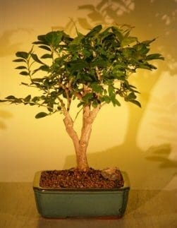 Flowering Orange Jasmine Bonsai Tree For Sale - Large ('murraya paniculata')
