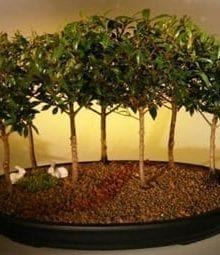 Flowering Brush Cherry Bonsai Tree For Sale Seven Tree Forest Group (eugenia myrtifolia)