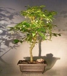 Flowering Water Jasmine Bonsai Tree For Sale - Extra Large (wrightia religiosa)