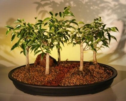Oriental Ficus Bonsai Tree For Sale Five (5) Tree Forest Group (benjamina 'orientalis')