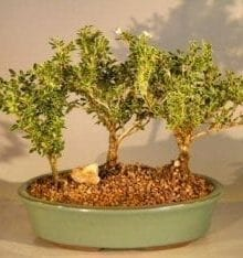 Flowering Mount Fuji Serissa Bonsai Tree For Sale Three Tree Forest Group (serissa foetida)