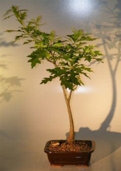 Pin Oak Bonsai Tree For Sale ('quercus palustris')