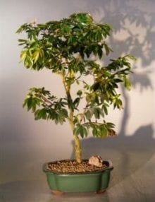 Flowering Dwarf Pink Powderpuff Bonsai Tree For Sale (calliandra schultzei 'rose cascade')