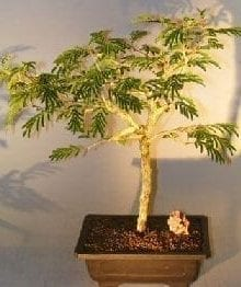 Flowering Princess Earrings Bonsai Tree For Sale - Large (dichrostachys cinerea)