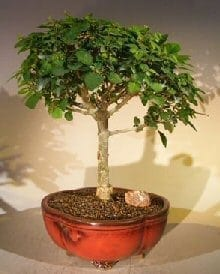 Flowering Parrot's Beak Bonsai Tree For Sale Large (gmelina philippensis)