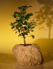 Flowering Ligustrum Bonsai Tree For Sale In Lava Rock (ligustrum lucidum)