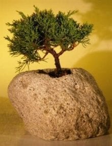 Shimpaku Bonsai Tree For Sale Bonsai Tree For Sale In Lava Rock - Medium (shimpaku itoigawa)