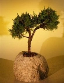 Shimpaku Bonsai Tree For Sale In Lava Rock - Large (juniper chinensis)