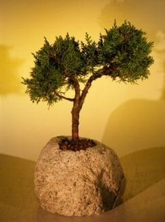 Shimpaku Bonsai Tree For Sale In Lava Rock Large Juniper Chinensis Bonsai Tree Gardener