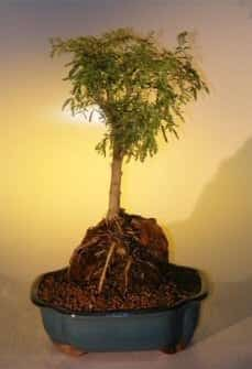 Sweet Acacia Bonsai Tree For Sale - Root Over Rock (acacia farnesiana)