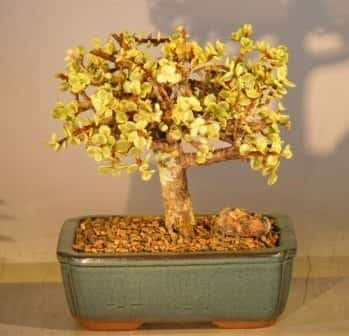 Baby Jade Bonsai Tree For Sale - Large Aged and Variegated (portulacaria afra variegata)
