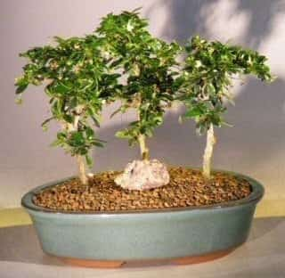 Fukien Tea Bonsai Tree For Sale Three Tree Forest Group (ehretia microphylla)