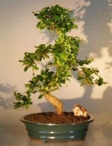 Fukien Tea Flowering Bonsai Tree For Sale - Extra Large Curved Trunk Style (ehretia microphylla)